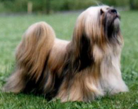 Lhasa Apso Training And General Care Guide